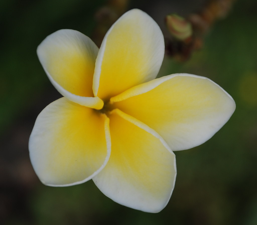 FLOWER  -    A DELICATE WHITE AND YELLOW PLUMERIA