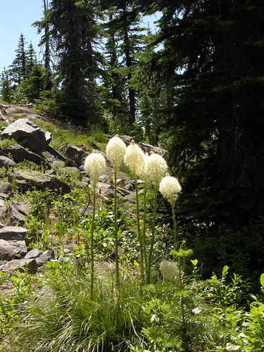 Mountain Bear Grass