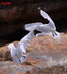 Kittiwake Fight (tinyfishy (Gone to Cuba)) Tags: canada bird flying inflight novascotia gull fighting blackleggedkittiwake kittiwake blackfooted capebretonnationalpark birdislands rissatridaclyla
