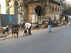 Goats in the City - Kolkata, India