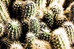 bling bling cactuses (ion-bogdan dumitrescu) Tags: bitzi ibdp mg2322edit ibdpro wwwibdpro ionbogdandumitrescuphotography