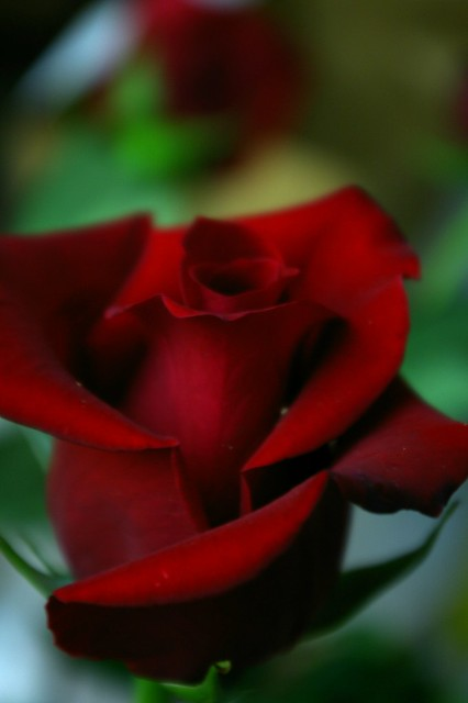 Red Rose by Phoney Nickle on Flickr