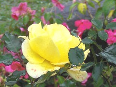 Rose: Yellow: In Rain
