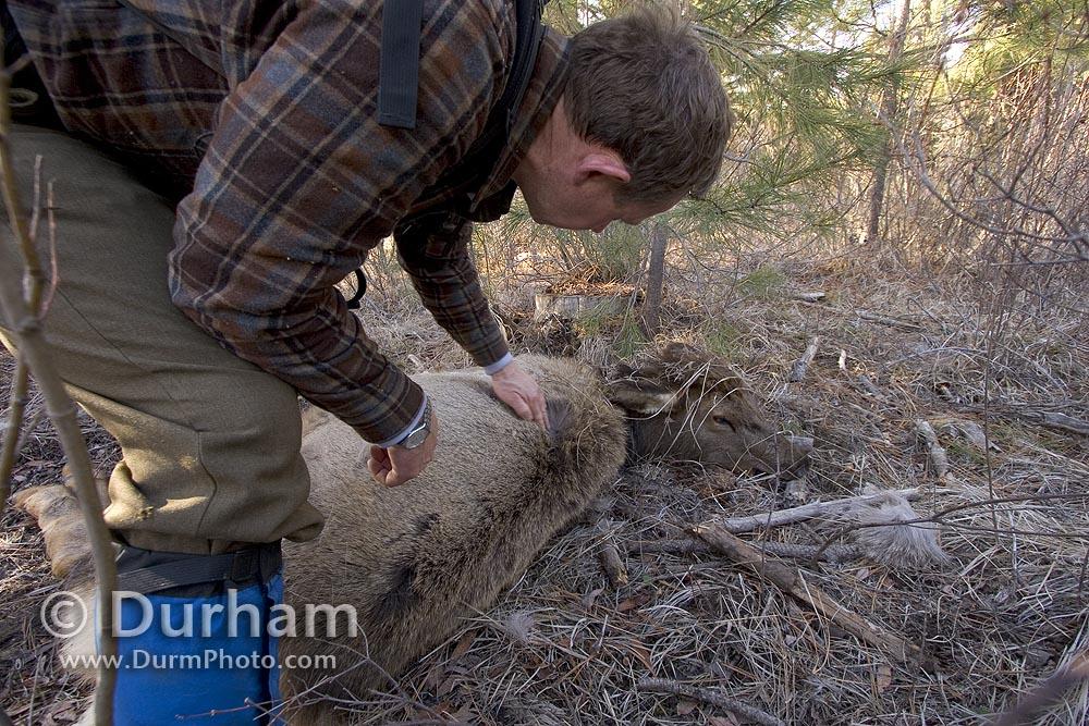 cougar killed elk