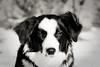 7/52 (fotoham) Tags: dog bordercollie manualfocus indi sigma70300mmf4056dgmacro nikond3000 52weeksfordogs manualweek themeschallenges 46cmandabout15kilosshesalmosthittingpuberty almost7monthsalready