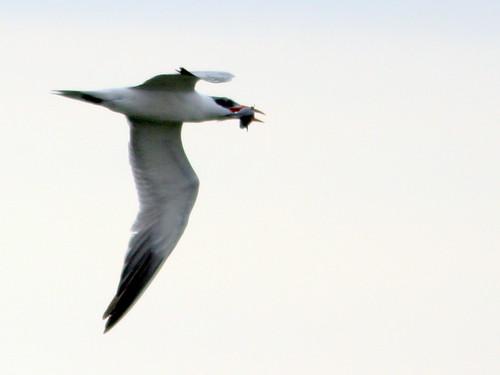 Caspian Tern 20100215