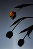 Silhouette (DPS Weekend Challenge) (-=DMC=-) Tags: flowers silhouette canon tulip dps desktopstudio strobist dpssilhouettes