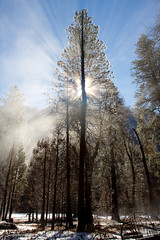 Mist, Trees and the Sun, Yosemite National Park, CA (Sudheendra Kadri) Tags: california morning trees winter light sky mist snow cold nature northerncalifornia fire nationalpark dramatic yosemite rays yosemitenationalpark canopy sudhi enlighten sudheendrakadri