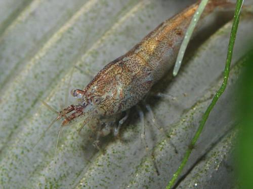 P3061824 黑殼蝦
