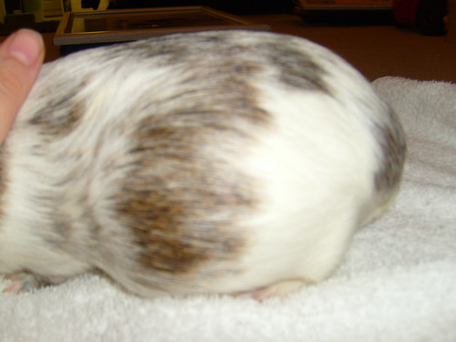 9 and a half week pregnant guinea pig