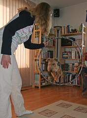 Gryffin learns hoop-jumping 1 (frontpage251) Tags: dog pet hoop jump terrier welsh trick leap gryffin
