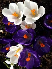 Crocus in Two Colours (saxonfenken) Tags: white flower garden crocus fromabove mauve gamewinner march16th 6934 friendlychallenges thechallengefactory pregamewinner agcgsweepwinner 6934flower