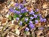 violette del sottobosco