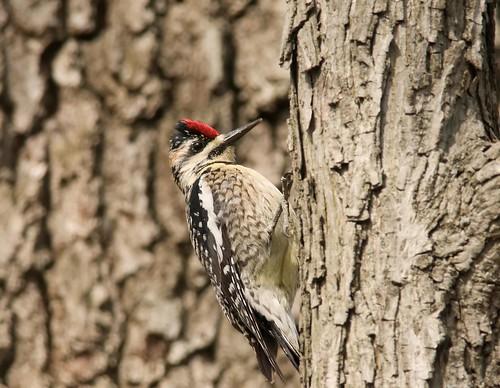フリー画像| 動物写真| 鳥類| 野鳥| キツツキ| シルスイキツツキ|      フリー素材|