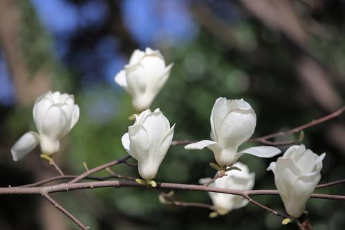 Beverboom kobus (Magnolia kobus)  MijnTuin.org