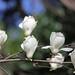 Photo: Magnolia 'kobus'