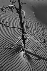 ENTREDUNAS (ángel mateo) Tags: ángelmartínmateo cabodegata almería andalucía españa spain arena duna desierto huella textura reservadelabiosferaporlaunesco sand dune desert texture biospherereservebyunesco playadelmónsul sanjosé níjar pitas cielo ángelmateo blancoynegro blackandwhite monocromo monochrome parquenaturalcabodegataníjar