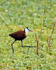 African Jacana, South Luangwa, Zambia