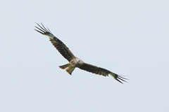 Low Flying Kite. (stonefaction) Tags: red kite nature birds scotland angus wildlife glens faved