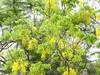 "阿勃勒 Cassia fistula (ddsnet) Tags: shower sony cybershot cassiafistula tree"" 阿勃勒 黃金雨 cybershor goldenshowertree ""golden quotgolden 金急雨 豬腸豆 臘腸樹 treequot 波斯皂莢 牛角樹 金鏈花 婆羅門皂莢 長果子樹 ""cassia fistula"" hx100v quotcassia fistulaquot"