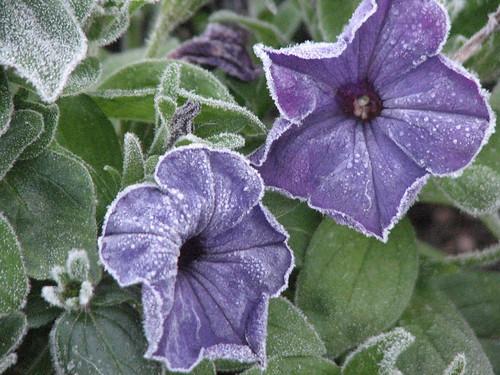 Frosty Flowers 101709 005