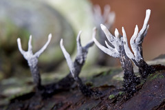 Like burnt trees (kaibara87) Tags: macro nature mushroom closeup mushrooms 100mm fungi funghi cansiglio macrophotosnolimits macrodenaturaleza greatshotss