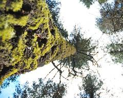 a tree up the Norquay road (phrase!) Tags: mountains macro tree landscape rockies bokeh rocky alberta banff rockymountains
