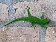 Phelsuma madagasceriensis madagascariensis. Green day gecko. (Linda DV) Tags: geotagged canon madagascar mandraka madagascarexotic réservedepeyrieras gecko greendaygecko phelsumamadagasceriensis lindadevolder powershots5is 2009 africa reptilia