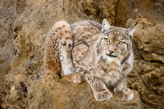 Lince - Lynx - Explore (Azdoe.) Tags: wild espaa color film animal cat canon spain nikon explore felino epson animales santander lynx cantabria cabrceno lince cabarceno linces explored rinconesdecantabria azdoe
