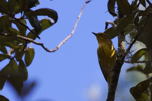 bird07_prarieWarbler