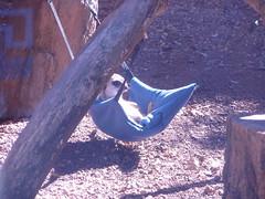 meerkat in a pouch