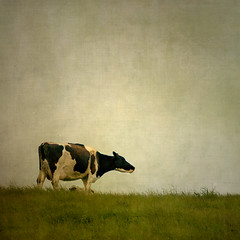 Cow on the Hill (borealnz) Tags: newzealand texture field grass skyline rural square cow cows gap moo nz otago dairy herd bovine paddock dairyfarm bsquare flypapertextures borealnz