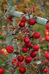 Apples (Photography Through Tania's Eyes) Tags: mountain lake canada tree apple field fruit photo nikon photographer bc britishcolumbia okanagan picture orchard photograph summerland fruittree appleorchard okanaganvalley copyrightimages taniasimpson