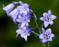 Bluebell flowers - Spanish bluebells (Mukumbura) Tags: wood uk flowers blue england flower detail macro green english nature closeup forest garden spring bokeh alien spanish lilac hybrid bluebell springtime imported hyacinthoideshispanica