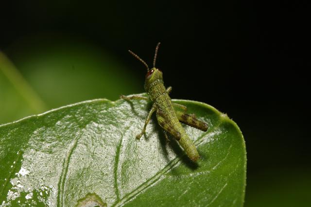 belalang | ƃnɐןɐןǝq