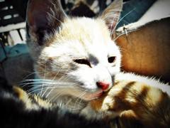 Mika ( Jovas  ) Tags: pet cat kat kitty gato felino minimo mascota gatito fujifilmfinepixj10