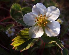 Strawberry Blossom (Clyde Barrett) Tags: wild newfoundland strawberry blossom nl nfld clydebarrett goldstaraward