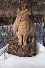 Buddha Cat. (elinor.angel) Tags: orange cats snow cat buddha stripes kitty stump kitties chill whippersnapper