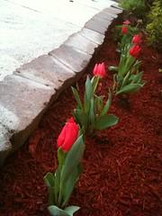 My new tulip garden
