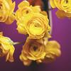 Happy Yellow Monday! (Morphicx) Tags: flowers blur macro yellow petals purple bokeh ranunculus 5d 2470f28l ilovebokeh