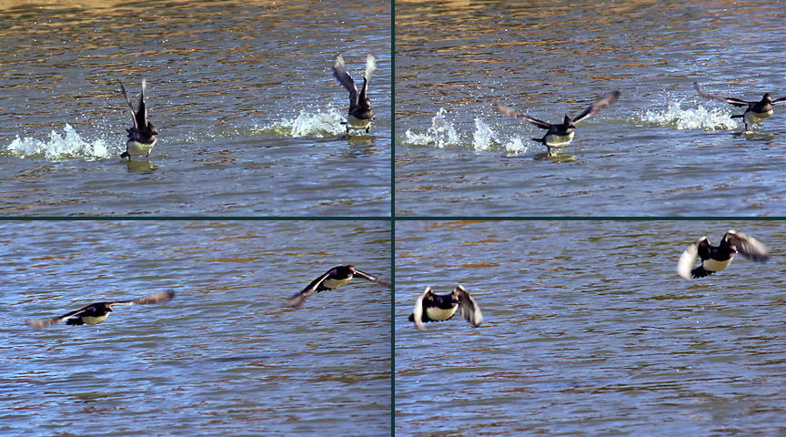 female hooded mergansers taking flight