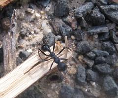 Bulldog Ant (by Simbel_myne)