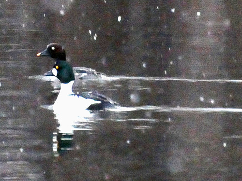 Common Goldeneye male and female 2