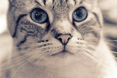 maomao. (Alli Jiang) Tags: pet cute love beautiful animal cat canon fur photography eos 350d furry aperture feline warm soft blueeyes kitty indoor cutie meow lovely tone pur maomao mew miaow purrr bestofcats allijiang