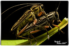 Viewer discretion is advised.. Sex contained.. (Nuc euS) Tags: macro sex nude lens is porn mating grasshopper viewer sx discretion advised sp90 18sx macrolife