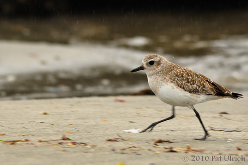 Black-bellied plover running