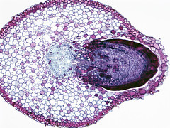 Lateral Root (BlueRidgeKitties) Tags: plant stele root botany microscope microscopy crosssection dicot ccbyncsa noncommercialuseonly olympusix81 lateralroot vascularcylinder lateralrootorigin rootsection branchroot