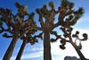 (dpietzuch) Tags: california nationalpark nikon joshuatree flare riversidecounty 1835mmf3545 capturenx d700 dpietzuch