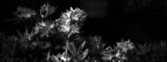 Out of bloom (ninja-axel) Tags: panorama landscape wide infrared xpan hoya hasselbladxpan efke r72 hasselbladxpanii ir820