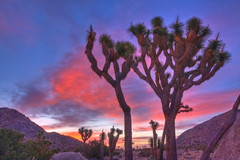 Sunrise in Joshua Tree National Park (GMills31) Tags: california trees red clouds sunrise desert joshuatree nationalparks hdr joshuatreenationalpark blueribbonwinner westernusa photomatixpro mywinners mountainhighworkshop moabworkshopjosuatreenationalpark